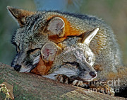 Grey Foxes Print by Millard H. Sharp