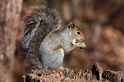 Jim Nelson - Grey Squirrel