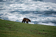 Yellowstone National Park Photos - Grizzly Bear on Frozen Lake Yellowstone by Shawn OBrien