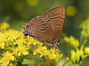 Animals Digital Art - Hairstreak Butterfly by Christina Rollo