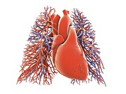 Science Photo Library - Heart-lungs circulatory...