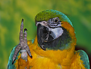 Blue And Gold Macaw Prints - Hello... Print by Nina Stavlund
