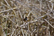 Kathy King - Here I am - Marsh Wren