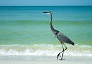 Grey Heron Framed Prints - Heron On A Sunny Beach In Florida Framed Print by Fizzy Image
