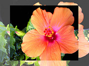 Peach Prints - Hibiscus Print by Cheryl Young