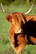 Franklin Tennessee Photo Posters - HIghland Cow Poster by Brian Jannsen