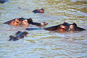 Large Mouth Prints - Hippopotamus group in river. Serengeti. Tanzania. Print by Michal Bednarek