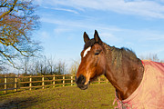 Horse Stable Posters - Horse in field wearing horse rug Poster by Fizzy Image