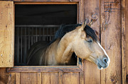 Horse In Stable Print by Elena Elisseeva