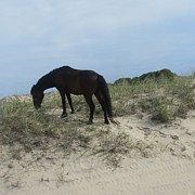 Sand Dunes Photos - Horses of Corolla 4 by Cathy Lindsey