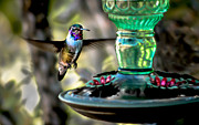 Feeder Greeting Cards Posters - Hummer Poster by Robert Bales