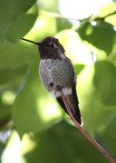 Hummingbird Photos - Hummingbird Hangout by Carol Groenen