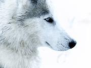Pet Photo Prints - Husky Print by Stylianos Kleanthous