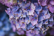 Purple Hydrangea Photos - Hydrangea Flower - VanDusen Botanical Garden by May L