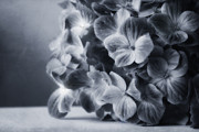 Black And White Images Photos - Hydrangeas by Kristin Kreet