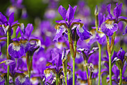 Bed Photos - Irises by Elena Elisseeva