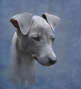 Greyhound Dog Metal Prints - Italian Greyhound Puppy Metal Print by Angie Vogel