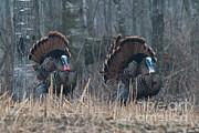 Jake Eastern Wild Turkeys Print by Linda Freshwaters Arndt