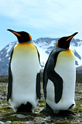 Kp Framed Prints - King Penguins Framed Print by Amanda Stadther