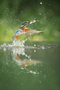 Survival Prints - Kingfisher with catch. Print by Andy Astbury