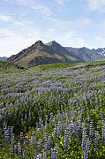Lupins Prints - Landscape of arctic lupins at Skafafell in Iceland Print by Robert Preston