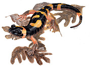 Cindy Hitchcock - Large Blotched Salamander
