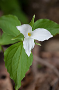 Birthroot Framed Prints - Large-flowered Trillium Framed Print by Bernard Lynch