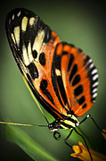 Sitting Photo Posters - Large tiger butterfly Poster by Elena Elisseeva