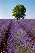 Fragrant Framed Prints - Lavender Field Framed Print by Brian Jannsen