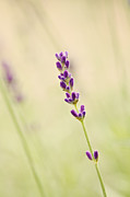 HJBH Photography - Lavender