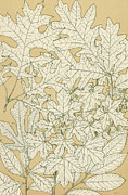 Wild-flower Drawings Posters - Leaves from Nature Poster by English School