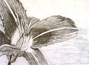 Nature Study Drawings Prints - Lily Print by Melanie Weber