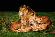 Nick  Biemans - Lion family lying in the grass