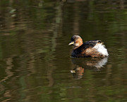 Paul Scoullar - Little Grebe