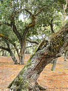 Epiphyte Metal Prints - Live Oaks Metal Print by Grace Dillon