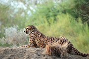 African Cat Prints - Lone Sentry Print by Fraida Gutovich
