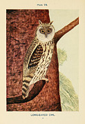 Audubon Drawings Posters - Long Eared Owl Poster by Philip Ralley