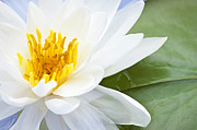 White Water Lily Art - Lotus flower by Elena Elisseeva