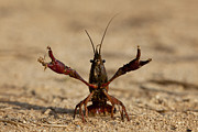 Louisiana Swamp Photos - Louisiana Crayfish by Ruben Vicente