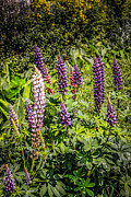 Park Scene Originals - Lupins by Chris Smith