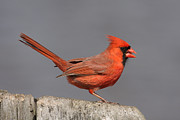 Jim Nelson Posters - Male Northern Cardinal  Poster by Jim Nelson