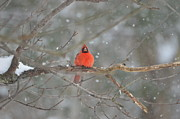 Lila Fisher-Wenzel - Male Northern  Cardinal