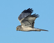 Bob Stevens - Male Northern Harrier
