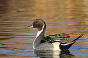 Ruth Jolly - Male Pintail