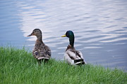 Duck Couple Posters - Mallard Couple Poster by Mark McReynolds