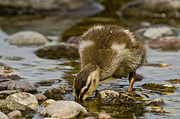 Animal Pics Posters - Mallard Duckling Poster by Michael Cummings