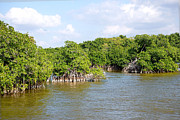 Mangrove Forest Digital Art Posters - Mangrove Forest Poster by Carol Ailles