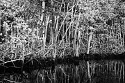 Landscape.ecosystem Posters - Mangrove Forest In The Florida Everglades Usa Poster by Joe Fox
