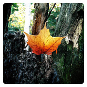 Tree Leaf Digital Art Posters - Maple Leaf Poster by Natasha Marco