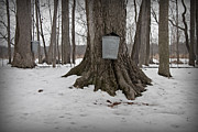 Maple Tree Photos - Maple Sugaring by John Stephens